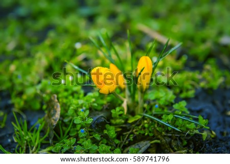 first spring flowers in the garden. yellow crocus