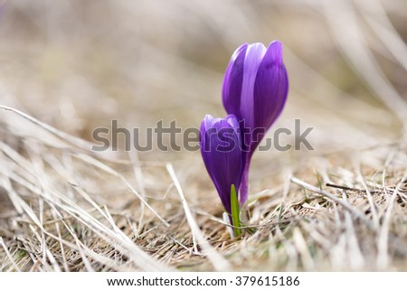 First spring flowers. Purple crocuses in dry grass. Two flowers - stock photo