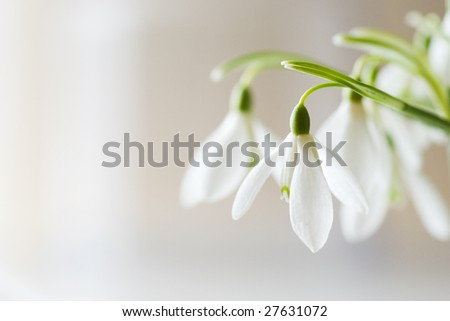 first spring flowers - snowdrops (Galanthus nivalis) - stock photo