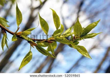 first spring foliage