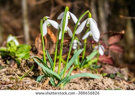 First spring snowdrop flowers in forest. Shallow depth of field