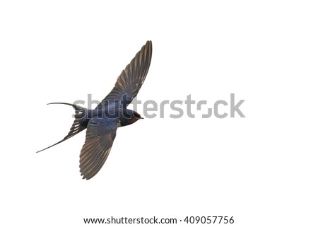 first swallow in flight isolated on white,the first step, migration of birds, the first spring bird swallow - stock photo