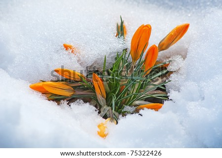first yellow crocus flowers, growing in the snow - stock photo