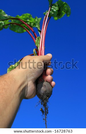 First young beetroot just pulled from the ground, held aloft, set against a clear blue background. - stock photo