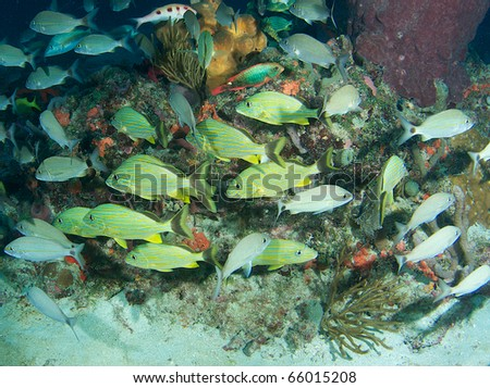 Fish aggregation picture of grunt species, on a reef at a depth of sixty feet, picture taken in Boca Raton, Florida. - stock photo