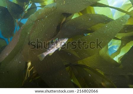 Fish among kelp fronds off Catalina Island, CA - stock photo