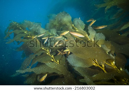 Fish among kelp fronds off Catalina Island, CA