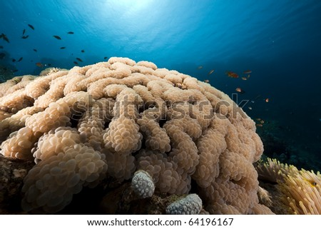 Fish and bubble coral in the Red Sea. - stock photo