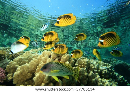 Fish and Coral: Red Sea Raccoon Butterflyfishes on a coral reef - stock photo