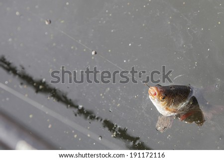 Fish been caught on a fishing hook - stock photo