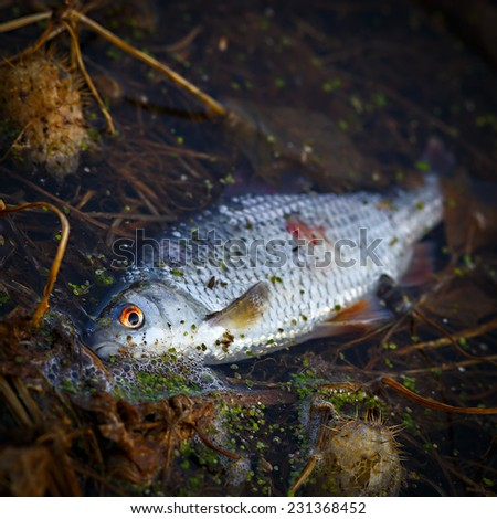 Fish die in contaminated water. - stock photo