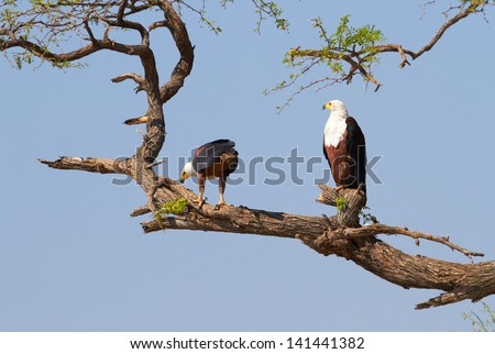 Fish eagle in a tree on the banks of the Chobe River - stock photo