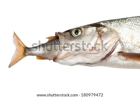 fish eating another fish - stock photo