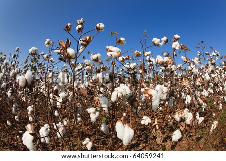 Fish eye view of a Alabama Cotton Field