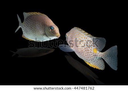 fish feeling swimming/fish breeding/Spinefoots on black background/Golden Spinefoot,Goldlined Rabbitfish,Orange-spotted Rabbitfish, - stock photo