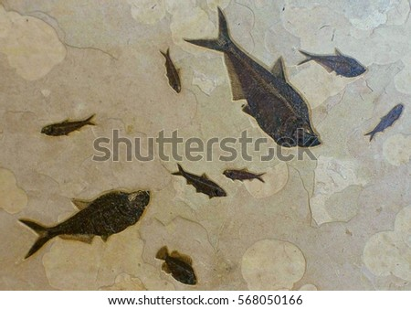 fish fossilized limestone stock images royalty images  fish fossils a school of 3 diplomustus 5 knightia and cockerellites in a mass