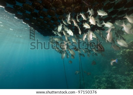 Fish gathering under a floating jetty in the Red Sea. - stock photo