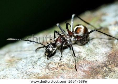 Fish-hook ant (Polyrhachis armata) - stock photo