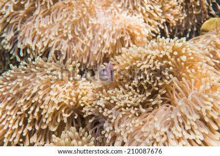 Fish in a sea anemone - stock photo
