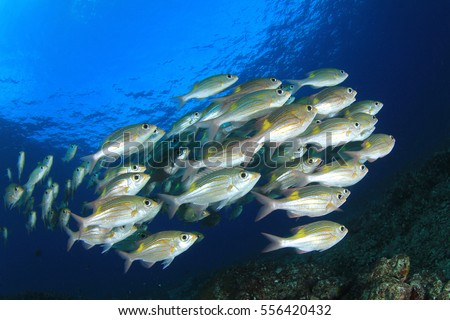 Fish ocean snapper fish school shoal stock photo 556420432 for Image of fish