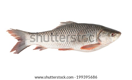 fish isolated on the white background - stock photo