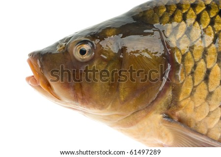 Fish isolated on white background - stock photo