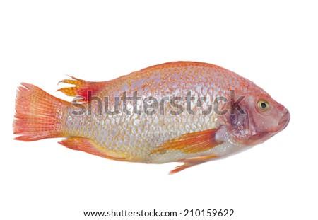 fish on white background, tilapia - stock photo