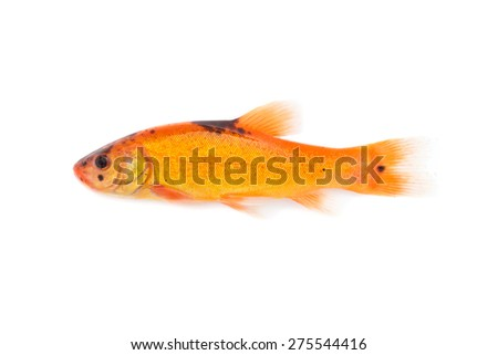 fish on white background - young specimen of common tench - stock photo