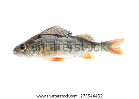 fish on white background - young specimen of european perch - stock photo