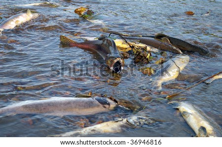 Fish salmon in river on spawning - stock photo