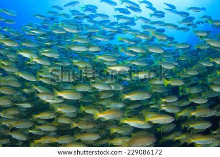 Fish school on coral reef underwater in ocean - stock photo