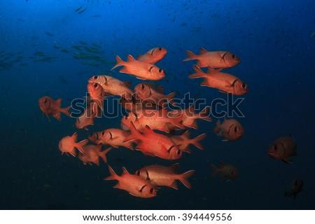 Fish school: Red Soldierfish - stock photo