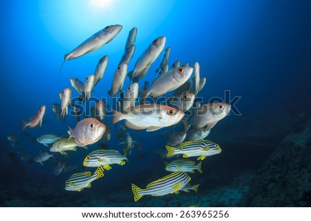 Fish school underwater: Oriental Sweetlips and Crescent-tailed Bigeyes - stock photo