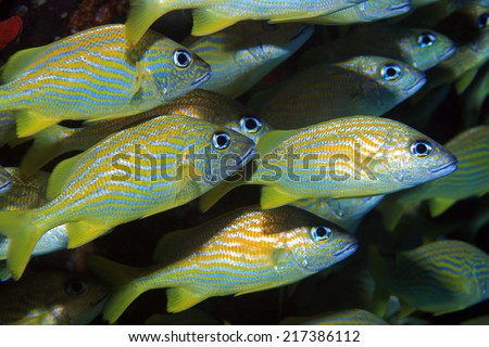 Fish shoal of french grunts (Haemulon flavolineatum) in the caribbean sea  - stock photo