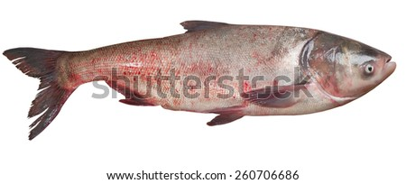 Fish Silver Carp, Hypophthalmichthys Molitrix Isolated on White Background - stock photo