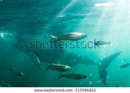 Fish swim past a great white shark, Gansbaai - stock photo
