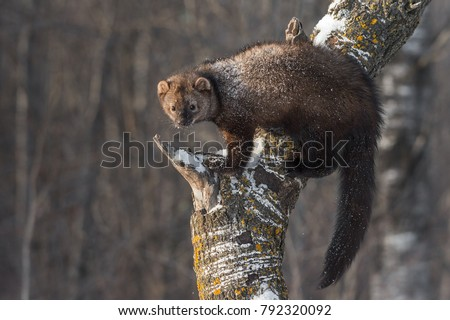 Fisher (Martes pennanti) Balances on Tree Trunk - captive animal