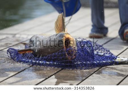 Fisherman caught a giant catfish. -(Selective focus) - stock photo