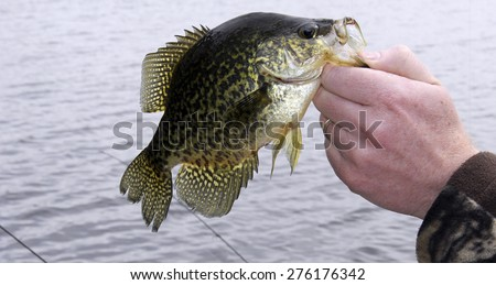 Fisherman holding a large Crappie by the jaw with the lake in the background - stock photo