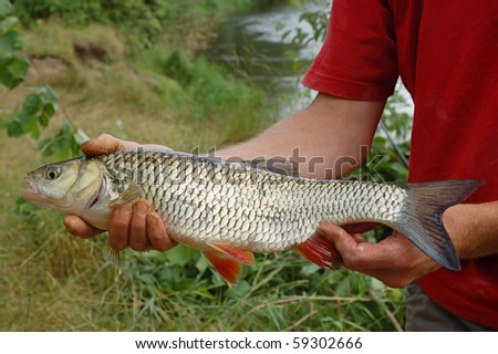Fisherman holding a rudd fish on the shoreline of a river - stock photo