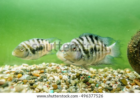 Fishes convict cichlids in aquarium