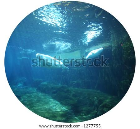 Fisheye Belugas - stock photo