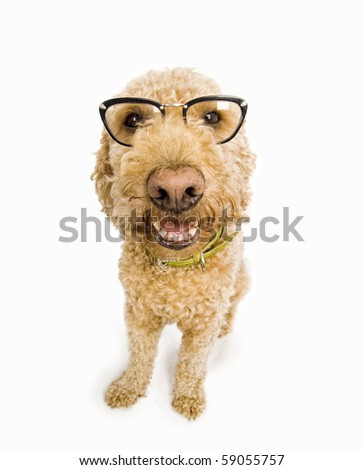 Fisheye shot of a spanish waterdog with cat's eye glasses - stock photo