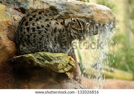 Fishing Cat By a Waterfall - stock photo