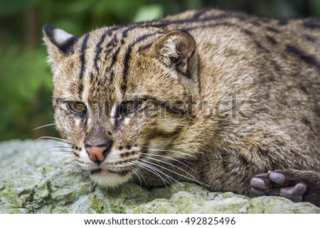 Fishing cat in Chiang Mai zoo, Thailand ; specie Catopuma temminckii family of Felidae