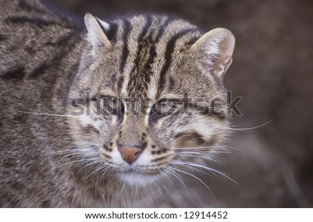 Fishing Cat (Prionailurus viverrinus) - stock photo