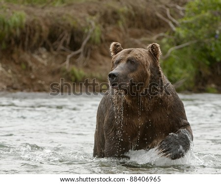 Fishing Grizzly - stock photo
