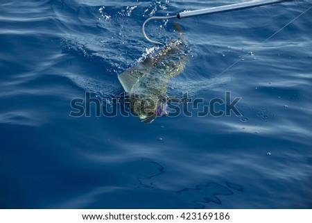 Fishing Mahi Mahi - stock photo