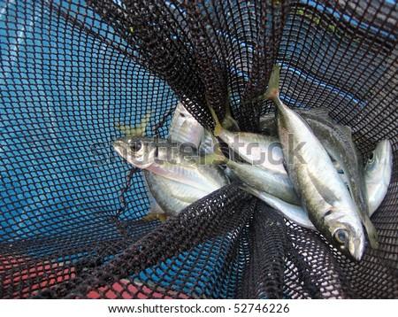 fishinG net full of common maditerrean oily fish (Trachurus trachurus) - stock photo