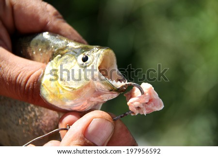 Fishing piranhas - stock photo